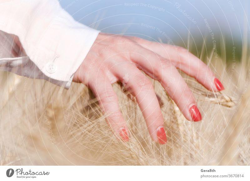 weibliche Finger, die Ährchen von Weizen berühren Ackerbau Herbst Hintergrund blau Botanik bowery hell Pflege Nahaufnahme Farbe Ernte Tag Bauernhof Frau Feld