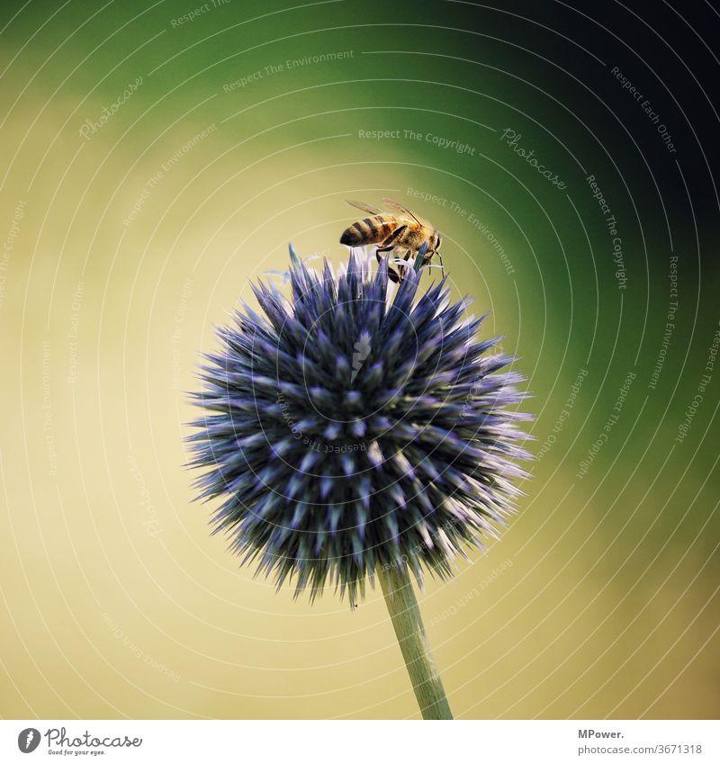 biene auf stachliger blume Biene Wespen Blume stachelig Insekt Makroaufnahme Tier Blüte Natur Pflanze