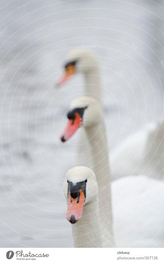 Drei Freunde Natur Flussufer Tier Wildtier Schwan 3 Schwimmen & Baden Stolz eitel Freundschaft Zusammenhalt Im Wasser treiben Neugier hintereinander Reihe weiß