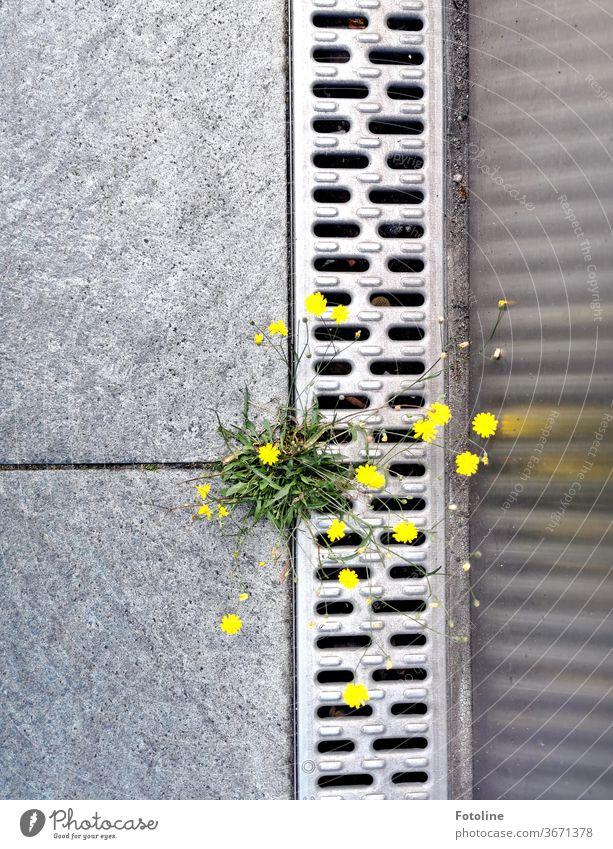 Mauerblümchen in der Großstadt - oder ein kleines Unkraut kämpft sich in der Großstadt durch eine Fuge zwischen zwei Platten Blume Wildblume Pflanze Blüte Natur