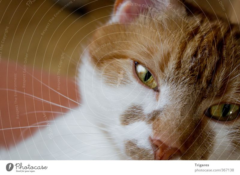 schau mir in die Augen Katze Erholung Tier orange Gelassenheit Langeweile