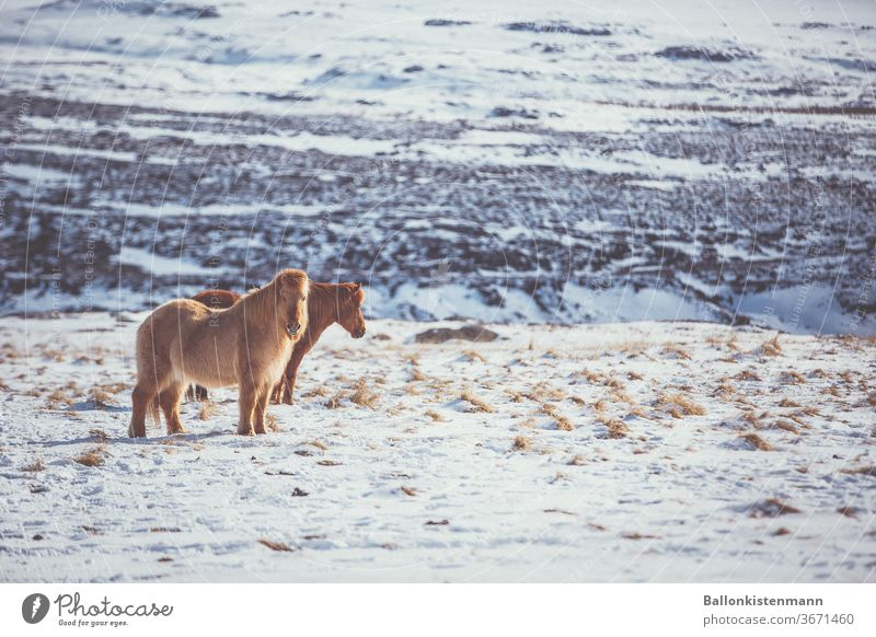 Island Inventar 34 Island Ponys Pferd Schnee Warmes Licht Landschaft schneebedeckt Wiese Koppel Fell Ruhe