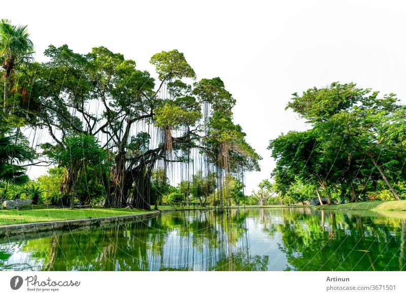 Raintree und viele grüne Bäume im Park und Teich. Bäume und grünes Grasrasenfeld in der Nähe des Sees mit Baumreflexion auf dem Wasser. Rasen im Garten im Sommer. Park mit tropischer Pflanze. Städtische Ozonquelle.