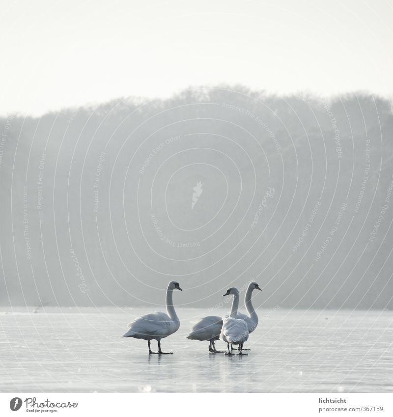drei oder vier Jesusschwäne Himmel Natur Landschaft Tier Winter Wald kalt Umwelt See Vogel Horizont Eis Wetter Nebel Feder stehen