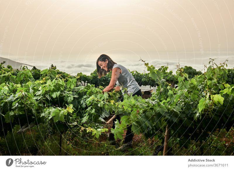 Ältere Frau pflückt Trauben auf dem Bauernhof abholen Frucht pflücken Sommer älter Landwirt Garten Senior Natur Ernte kultivieren Schonung frisch Ackerbau
