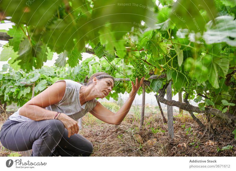 Frau pflückt Trauben auf dem Bauernhof abholen Frucht pflücken Sommer Landwirt Garten Natur Ernte kultivieren Schonung frisch Ackerbau Landschaft ländlich