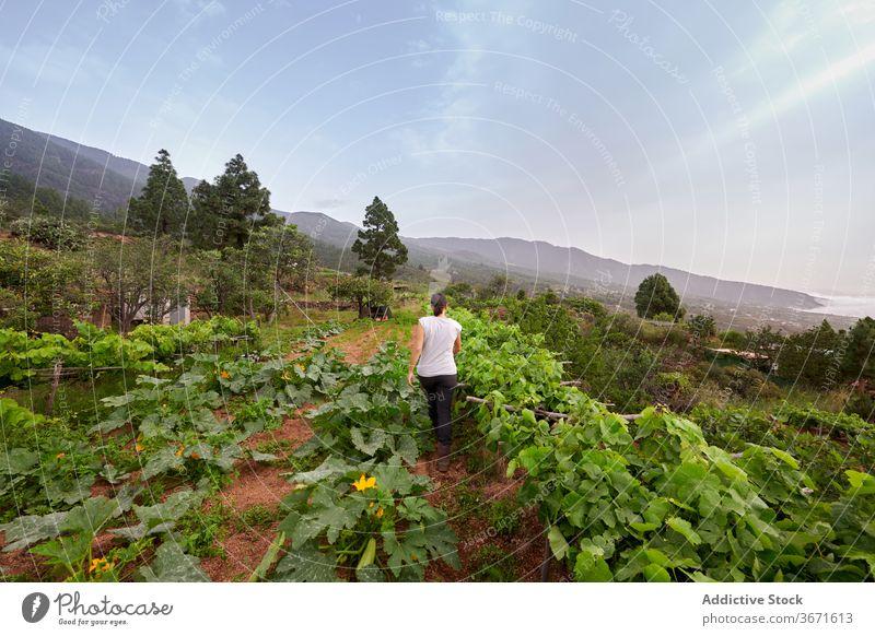 Anonyme Frau pflückt Trauben auf dem Bauernhof abholen Frucht pflücken Sommer Landwirt Garten Natur Ernte kultivieren Schonung frisch Ackerbau Landschaft