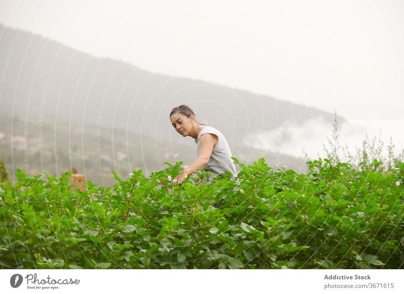 Frau spaziert entlang einer Plantage auf einem Bauernhof Landwirt Schonung Pflanze grün Spaziergang Senior Sommer wachsen vegetieren kultivieren Garten alt