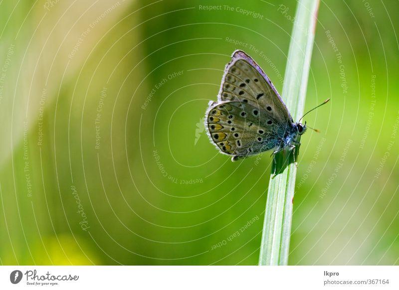 brauner Schmetterling im Busch liegend Garten Natur Blume Blatt Weiche Fluggerät Linie wild blau gelb grün schwarz weiß Farbe Ritterfalter Fleck Insekt orange