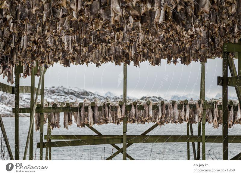 Stockfisch auf den Lofoten Fisch hängen trocknen Gestell Norwegen Skandinavien Norden Winter kalt Kälte aufhängen Lager Nahrung Essen Wasser Meer Inseln Küste
