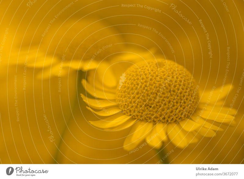 Gelbe Blüten der Färberkamille ( Anthemis tinctoria ) Kamille färben Hundskamille Blütenblatt Blumen Zart Garten Pflanze Sommer schön natürlich Farbfoto Blühend