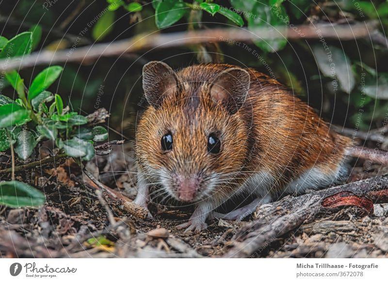Rötelmaus auf dem Waldboden Maus Myodes glareolus Tiergesicht Auge Nase Maul Ohr Fell beobachten Blick Wildtier Zweige u. Äste Blatt Sonnenlicht Schönes Wetter
