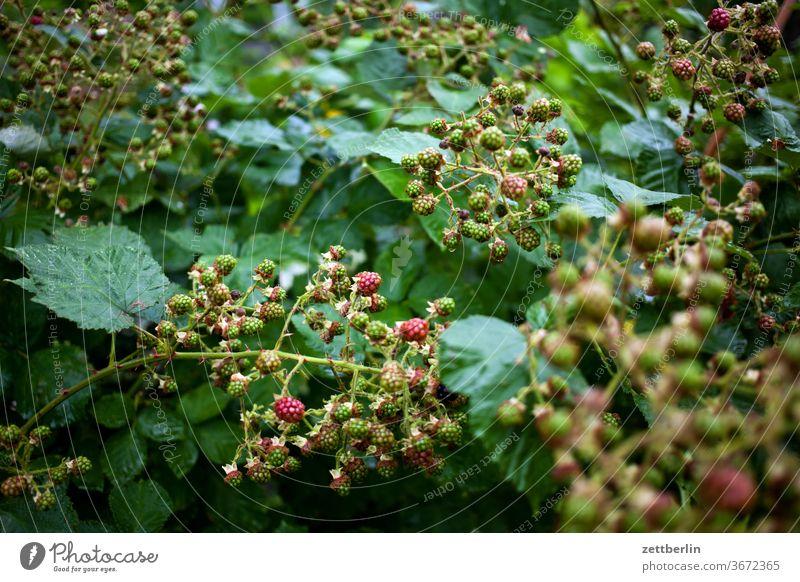 Brombeeren brombeere strauch ranke reif unreife grün strauchfrucht obst stachelig garten wald natur pflanze kleingarten schrebergarten