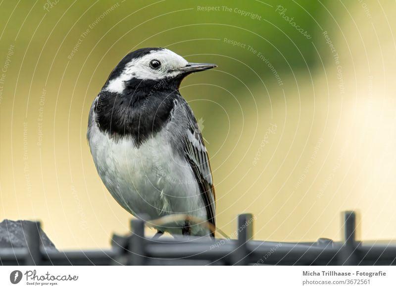 Bachstelze auf dem Gartenzaun Motacilla alba Tiergesicht Kopf Schnabel Auge Flügel Feder gefiedert Krallen Vogel Wildtier beobachten Blick klein nah Zaun