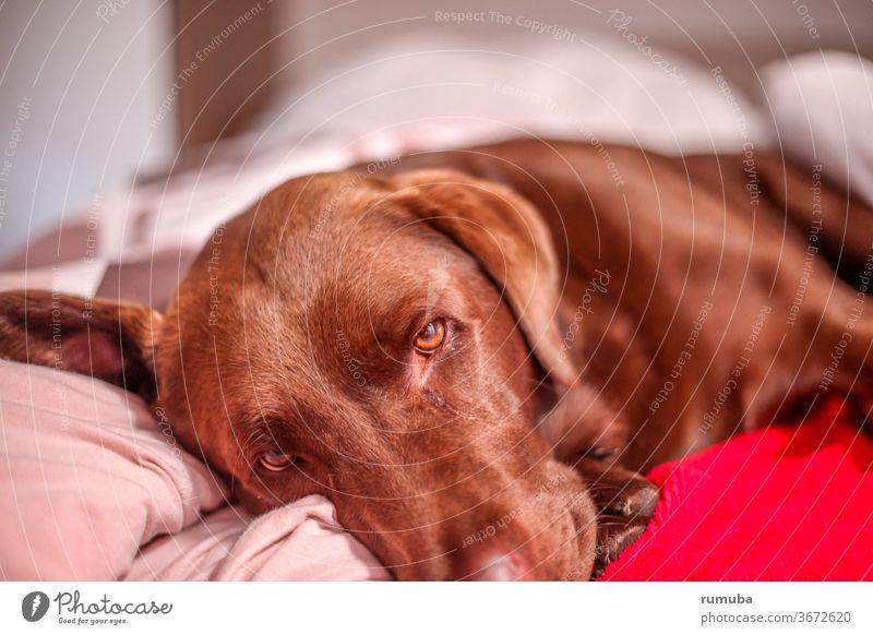 Brauner müder Labrador Wohlgefühl Erholung Sommerurlaub Schönes Wetter Garten Haustier Hund Pfote genießen liegen Coolness Freundlichkeit kuschlig niedlich