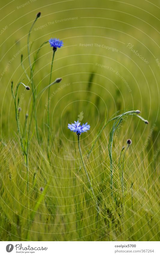Kornblumen blau grün Sommer Pflanze Blüte Feld elegant violett Nutzpflanze Wildpflanze