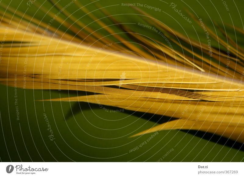Gelbgrünphase Feder gelb zerzaust Farbe leuchtende Farben Kiel Dinge Farbfoto Nahaufnahme Detailaufnahme Strukturen & Formen Menschenleer Textfreiraum unten