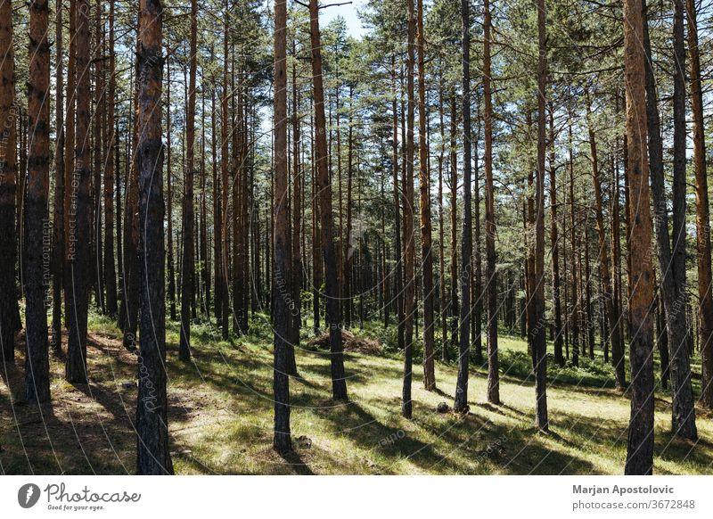 Kiefernwald an einem sonnigen Sommertag Hintergrund Balken schön Niederlassungen Land Tag Schmutz Umwelt Europa Evergreens Tanne Laubwerk Wald grün