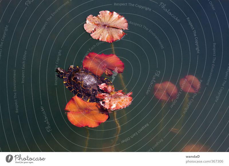 _____________ Umwelt Natur Pflanze Tier Wasser Sommer Schönes Wetter Blatt Wildpflanze Park See Schildkröte 1 beobachten genießen Blick träumen ästhetisch