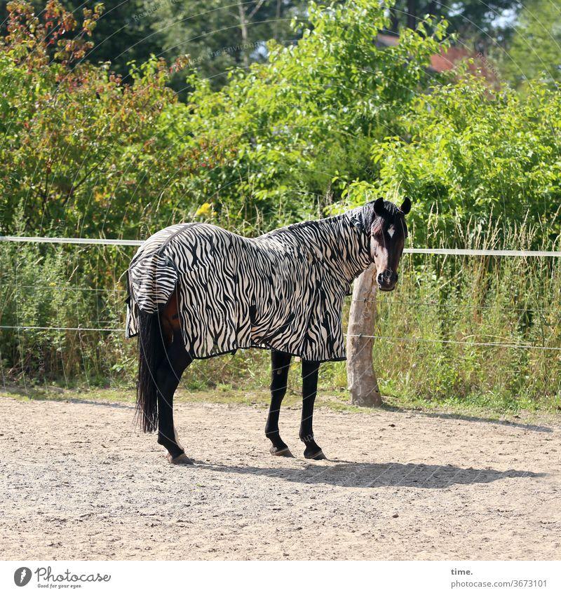 Karneval der Tiere pferd tier pferdedecke zebramuster zaun sandplatz sonnig schatten grün busch schauen beobachten stehen verdutzt lustig verrückt inspiration