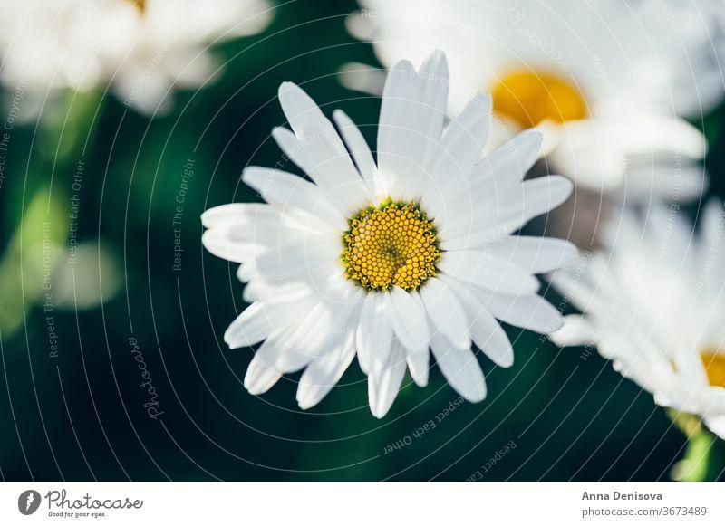 Weiße Kamillen Gänseblümchen Echte Kamille Blume Garten frisch Gänseblümchenblume Nahaufnahme Hintergrund Pflanze Blüte Natur weiß geblümt im Freien grün