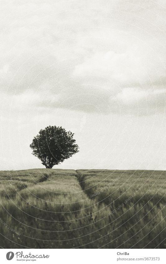 Ein Baum horizont kornfeld baum einzeln Kornfeld Wolken Natur Sommer Landschaft Farbfoto Außenaufnahme Getreide Menschenleer grün Landwirtschaft Weizen Pflanze
