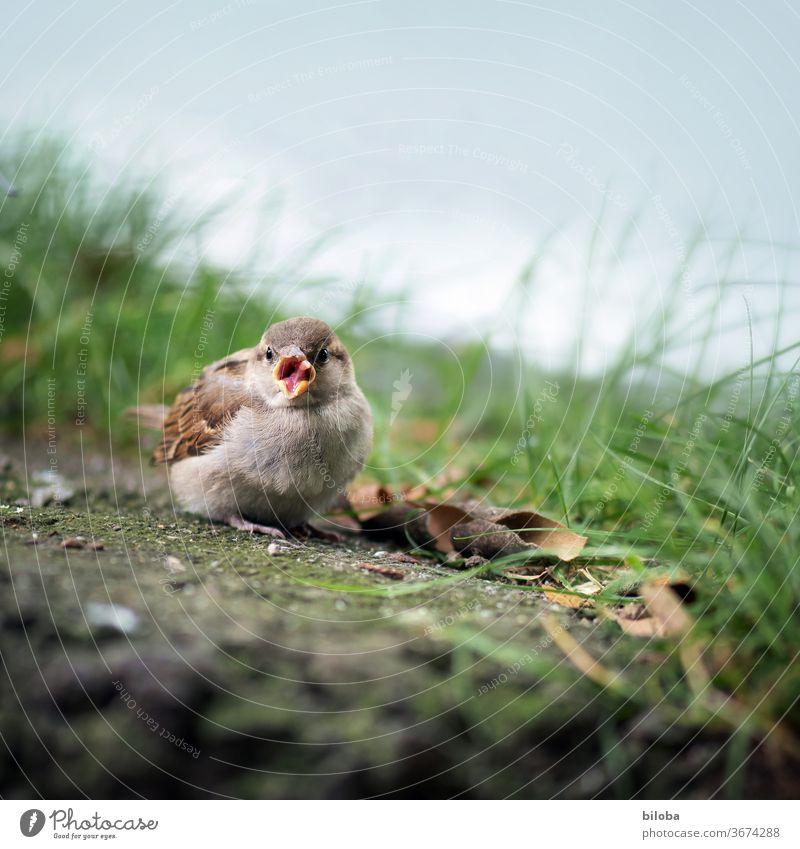 Vogel streckt am Wegrand seine Zunge raus. Spatz Schnabel Federn Tier Außenaufnahme Wildtier 1 Tierporträt Schwache Tiefenschärfe
