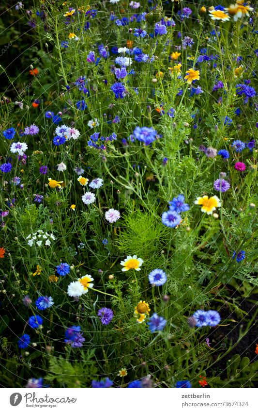Blühende Bienenweide im Sommer blume blühen blüte erholung ferien garten gras kleingarten kleingartenkolonie menschenleer natur pflanze rasen ruhe