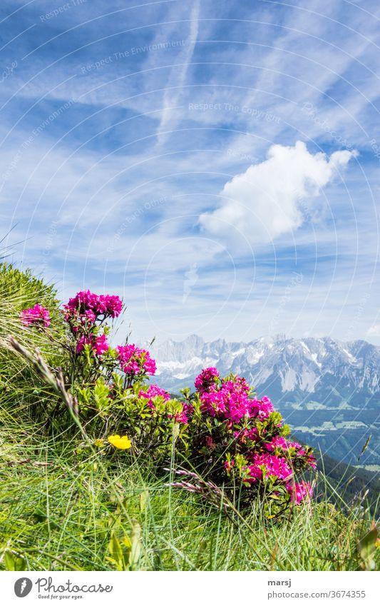 Almrausch vor dem Dachsteinmassiv Alpenrose Wildpflanze Berge u. Gebirge Natur Pflanze Blüte Ausflug Ferien & Urlaub & Reisen Kontrast Sonnenlicht Tourismus