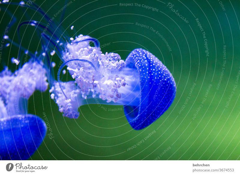 tanzen Tierporträt Unschärfe Sonnenlicht Kontrast Licht Menschenleer Detailaufnahme Nahaufnahme Innenaufnahme Farbfoto Unterwasseraufnahme Tentakel Gift