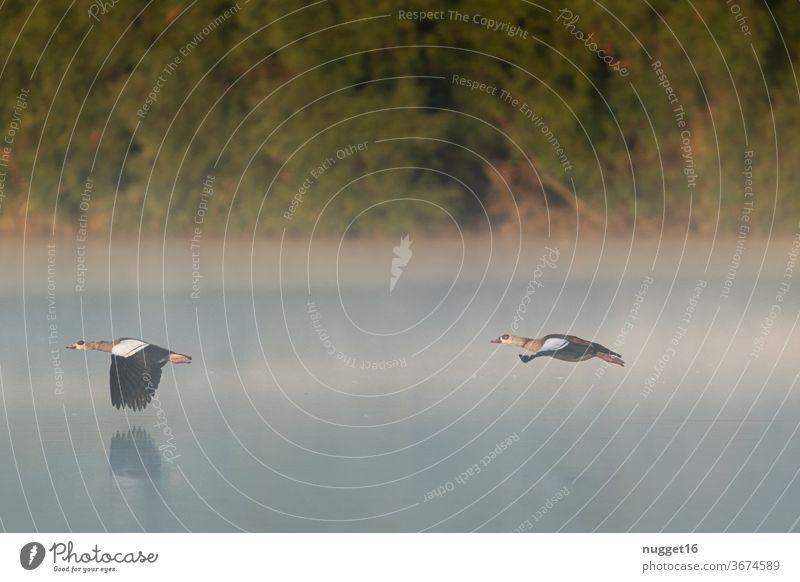 Nilgänse im Flug durch den Morgennebel Tag Farbfoto Außenaufnahme Natur Gans fliegend Tier Vogel Wildtier Menschenleer Umwelt Schwarm Wildgans Tiergruppe