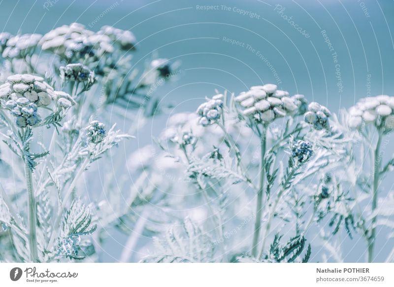Gefrostete Blumen gefrorene Blumen Winter Schnee kalt Natur Frost Eis Eiskristall frieren Raureif Eisblumen blau Außenaufnahme weiß Dezember Detailaufnahme