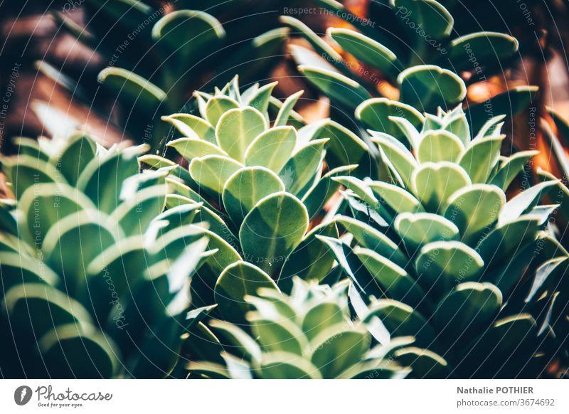 Sukkulenten in Nahaufnahme Pflanze Natur grün sukkulente Pflanze Topfpflanze Dekoration & Verzierung Zimmerpflanze Farbfoto Grünpflanze