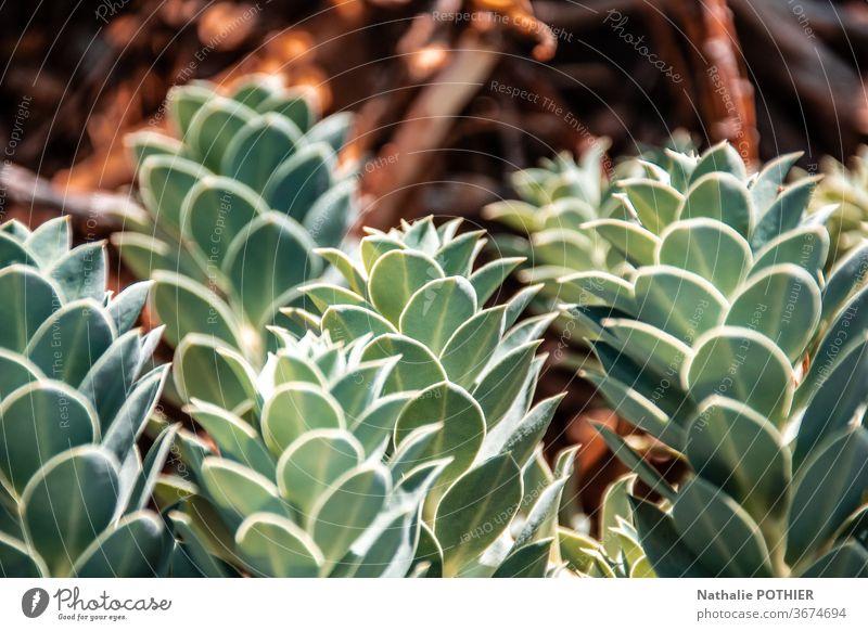 Sukkulenten in Nahaufnahme Grünpflanze Farbfoto Zimmerpflanze Dekoration & Verzierung Topfpflanze sukkulente Pflanze grün Natur Gartenarbeit exotisch natürlich