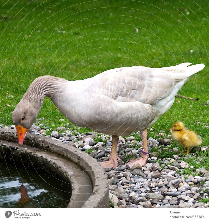 AST6 Inntal | Wer ist die Schönste im ganzen Land? Tier Haustier Nutztier Vogel Gans Küken Gänschen 2 Tierjunges Tierfamilie schön lustig Neugier niedlich