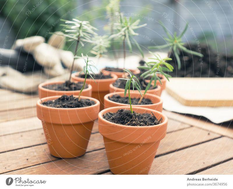 Kleine Setzlinge der Nordmanntanne in Pflanztöpfen auf einem Pflanztisch, Gartenbau- oder Forstwirtschaftskonzept, Naturschutz Tanne Bauernhof Schutz