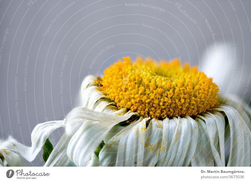 Leucanthemum-Hybride, Blütenkopf, Nahaufnahme leucanthemum Margerite Zwitter ornamental Garten Pflanze gelb weiß