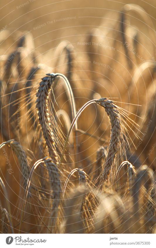 von herzen Kornfeld Herz Feld Sommer Natur Getreide Landwirtschaft Gerste Getreidefeld gelb Ackerbau Bioprodukte nachhaltig Liebe Ähren Wachstum Ernährung