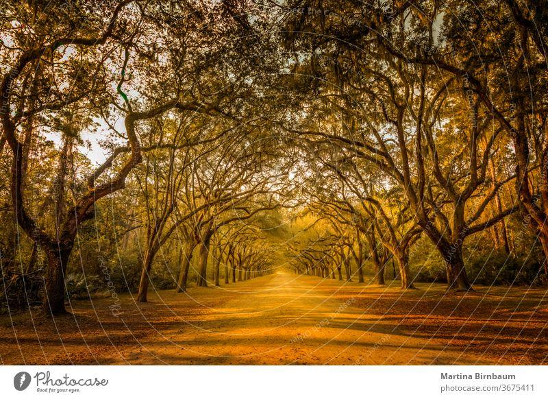 Eine atemberaubende Gasse, gesäumt von alten, lebenden Eichenbäumen, die mit spanischem Moos drapiert sind Bäume natürlich Savanne Wurmschleife Schonung