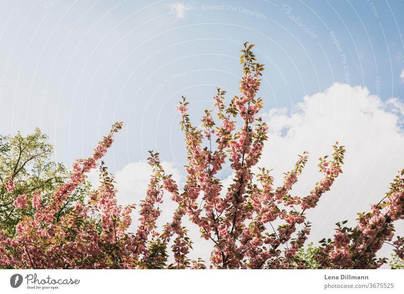 Kirschbaum Blüten böühend Blauer Himmel Wolken bewölkt Frühling blühen Äste Baum Bäume Früjahr Sonnenschein