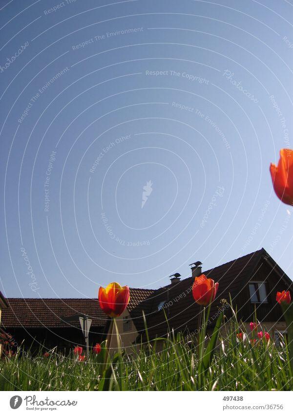Käferperspektive Blume Haus Gras Tulpe Blauer Himmel Hochformat