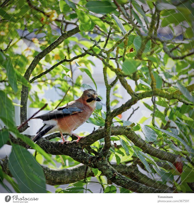 Tier | Sprachtalent Natur grün Pflanze Baum Umwelt Gefühle natürlich Vogel Schönes Wetter Freundlichkeit Eichelhäher