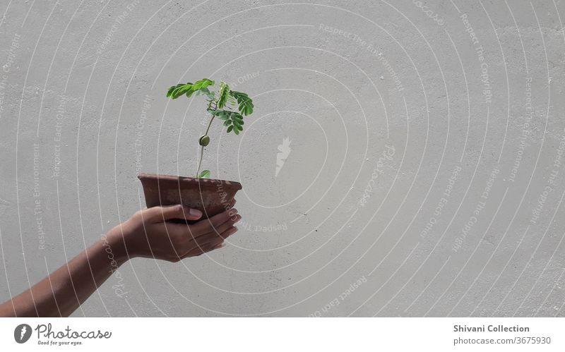 Grüner Pflanztopf in Menschenhand isoliert auf weißem Betonwandhintergrund. Tag Außenaufnahme frisch Hand Frühlingsfarbe Salat Gesunde Ernährung Lebensmittel