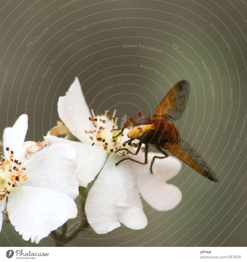 Reserve-Biene Natur Pflanze Tier Rose Blüte Park Fliege 1 gelb orange weiß Schwebfliege Hornissen-Shwebfliege Tarnung Bestäubung Camouflage Farbfoto