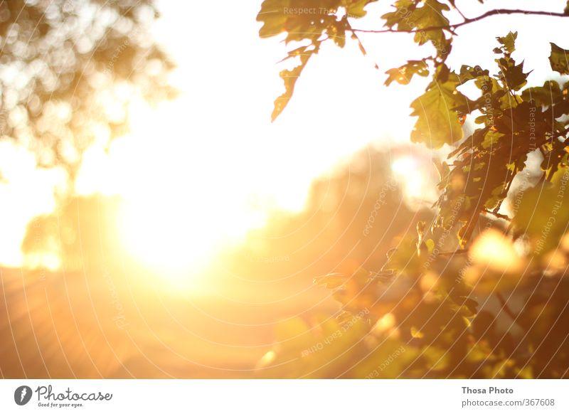 Blind Sommer Sonne rot Blatt gelb hell Abenddämmerung Strahlung Zweige u. Äste Blätterdach