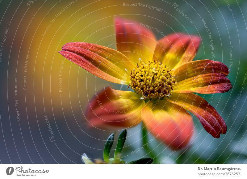 Korbblütler der Gattung Bidens, Zweizahnhybride; Sommerblüher Hybride Blütenstand Blume Asteraceae amerikanisch Balkonpflanze dekorativ gelb orange Nahaufnahme