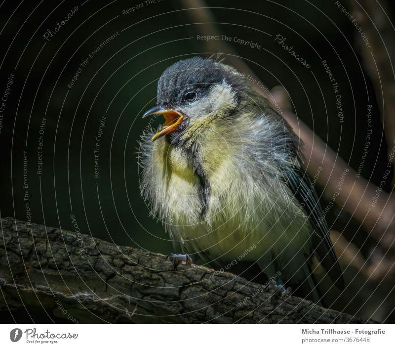 Zwitschernde junge Kohlmeise Parus major Tierjunges Küken Meisen Tiergesicht Schnabel Auge Flügel zwitschern singen Feder Ästling klein Vogel Wildtier