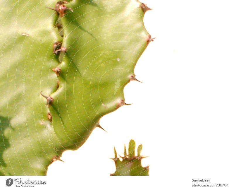 Ein Kaktus ganz allein... grün Pflanze Schönes Wetter Stachel