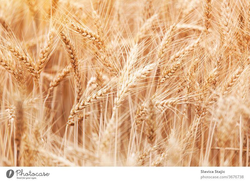 Nahaufnahme der Halme im Weizenfeld Ackerbau Hintergrund Gerste Brot Land Landschaft Ernte kultivieren trocknen Ohr Bauernhof Landwirtschaft fruchtbar Feld