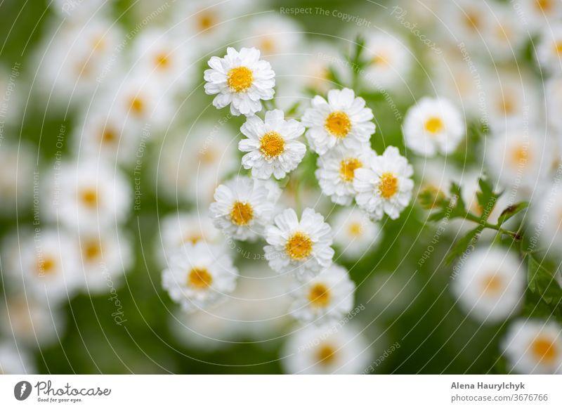 Weiße Matricaria (Fieberkraut) Blüten. Natürliches Abwehrmittel gegen Zangen (Zecke). Heilkräuter. Schöner natürlicher Hintergrund. Arboretum Asteraceae schön